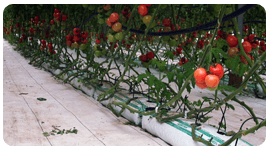 impianto fuori suolo pomodoro