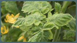 fitopatologia pomodoro