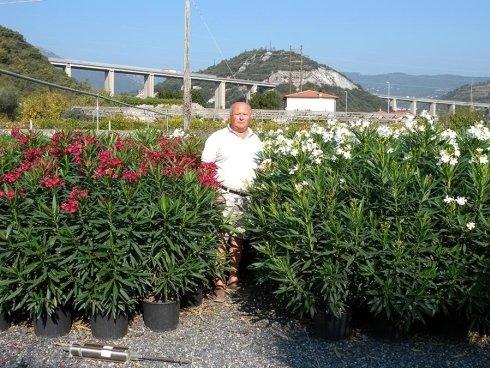 Piante da siepe savona gambetta piante vivai for Piante da cespuglio