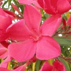 cultivar oleandro Alassio