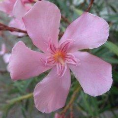 Cultivar Oleandro Grandiflorum