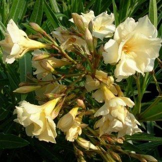 Cultivar Oleandro Luteum Plenum