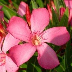 Cultivar Oleandro Pietra Ligure
