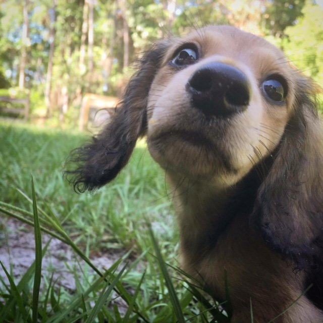 Dachshund Puppies: Color and Pattern