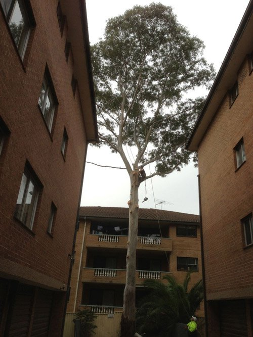 worker removing branches from tall tree between buildings