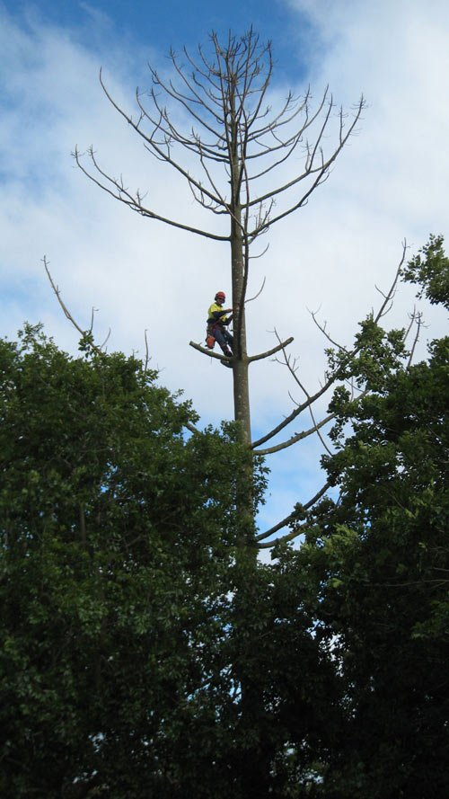 worker high up in tree removing branches