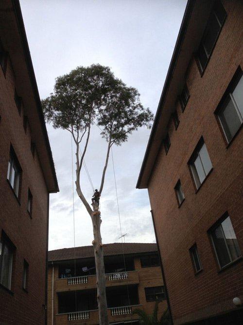 worker up in tall tree between buildings