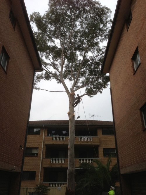 worker removing branches from a tall tree between buildings