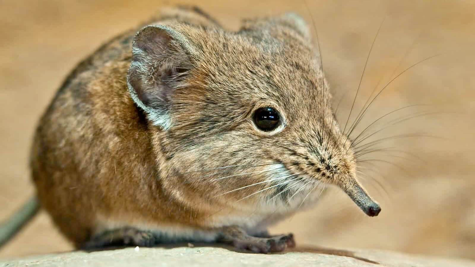 Elephant Shrew the little five africa  small five africa little five south africa small five south africa little 5 africa africa little 5 little 5 south africa little five africa