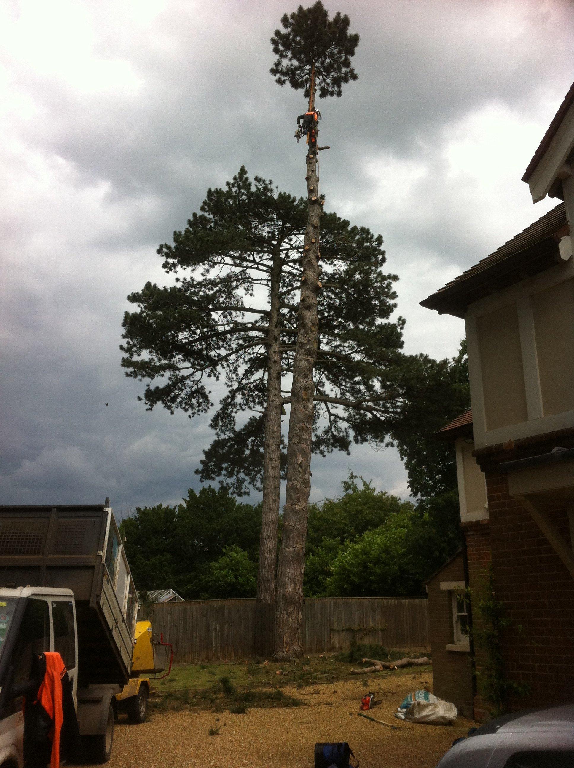 tall tree felling