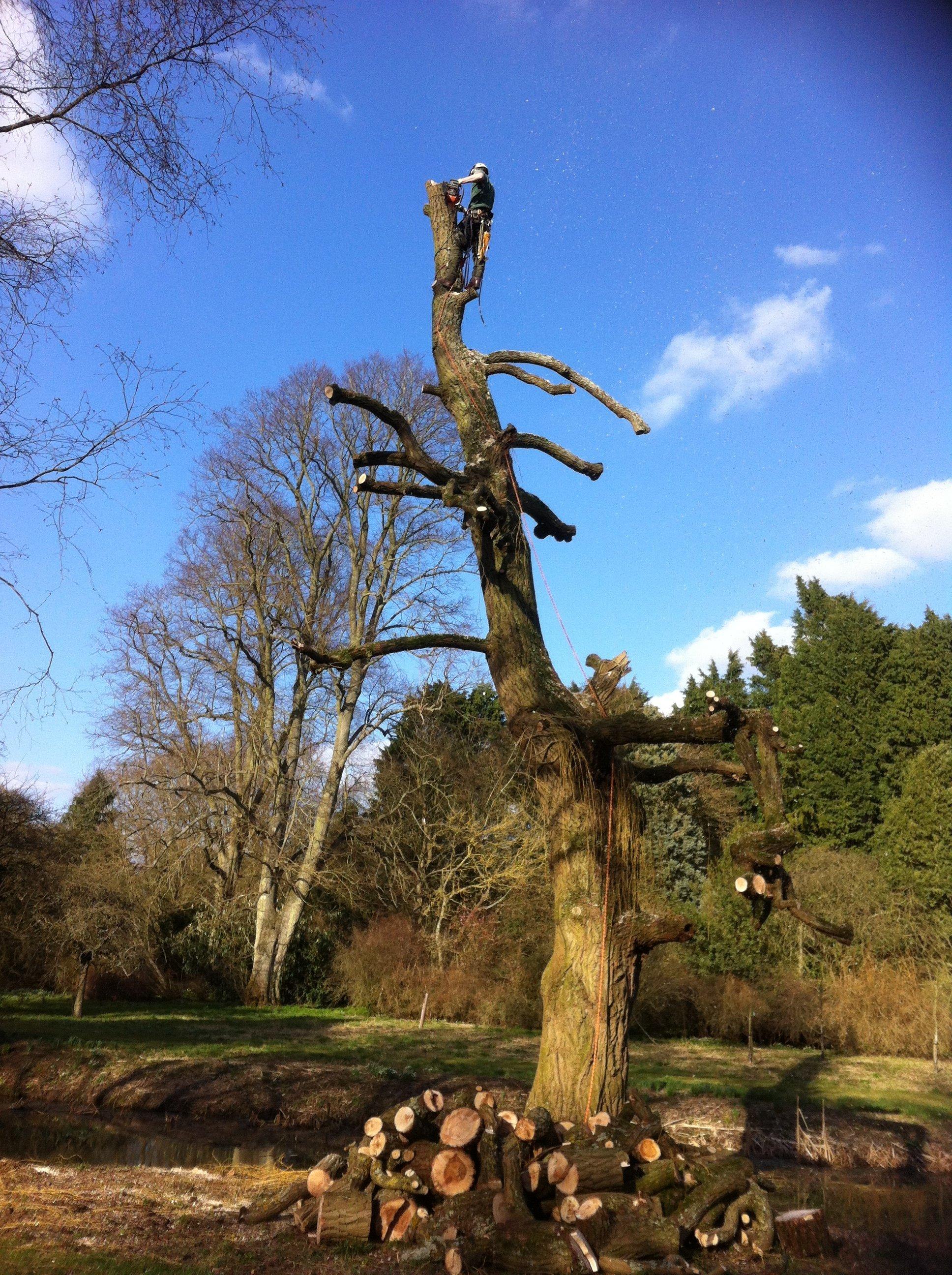 damaged tree felling
