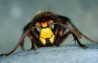 Eliminazione vespe