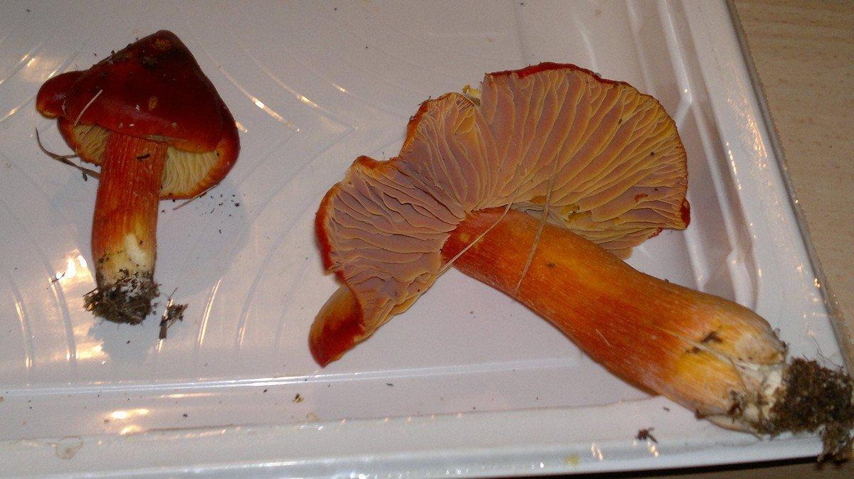 Hygrophorus puniceus