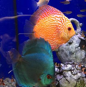 Multi-coloured fish
