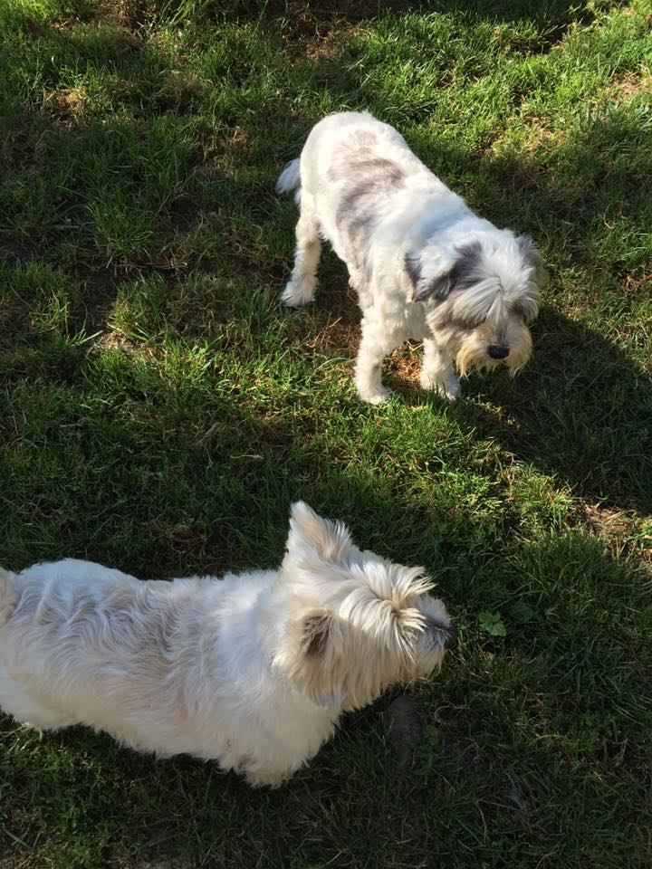 2 white dogs