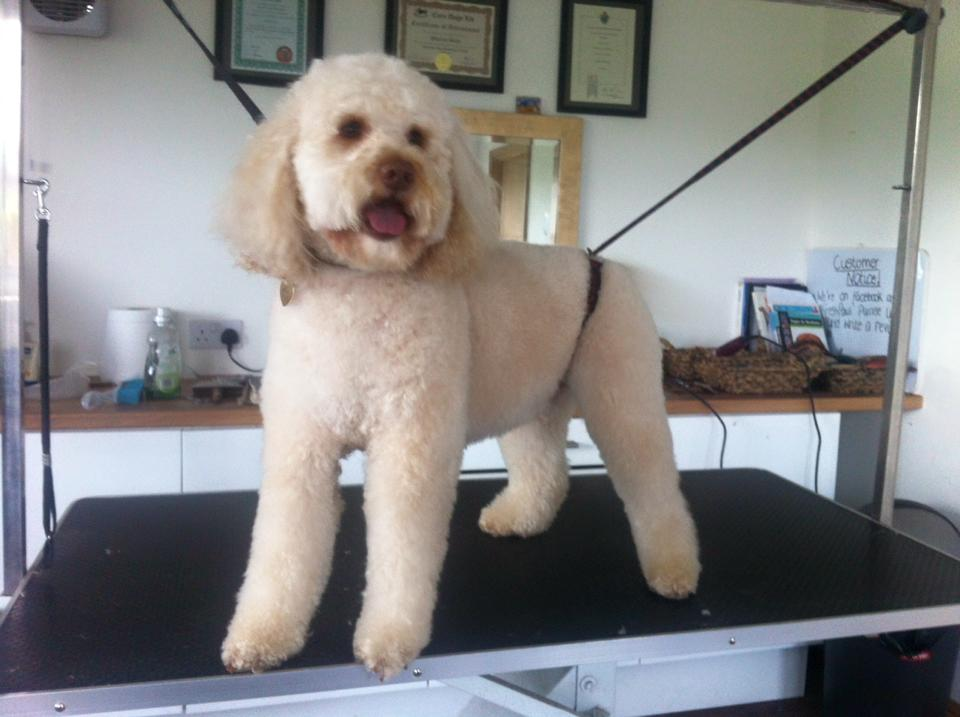 Labradoodle After