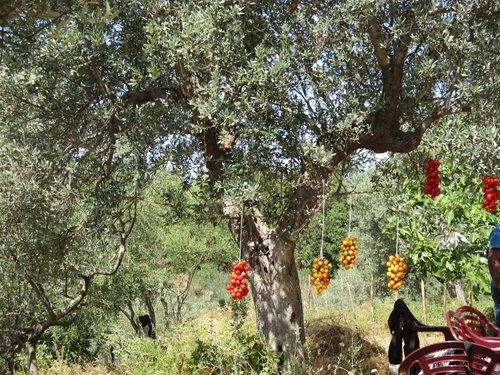 albero con frutta appesa
