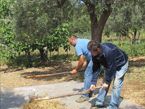 due braccianti che raccolgono le olive