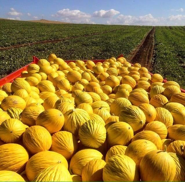 distribuzione melanzane all