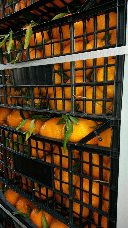 produzione arance