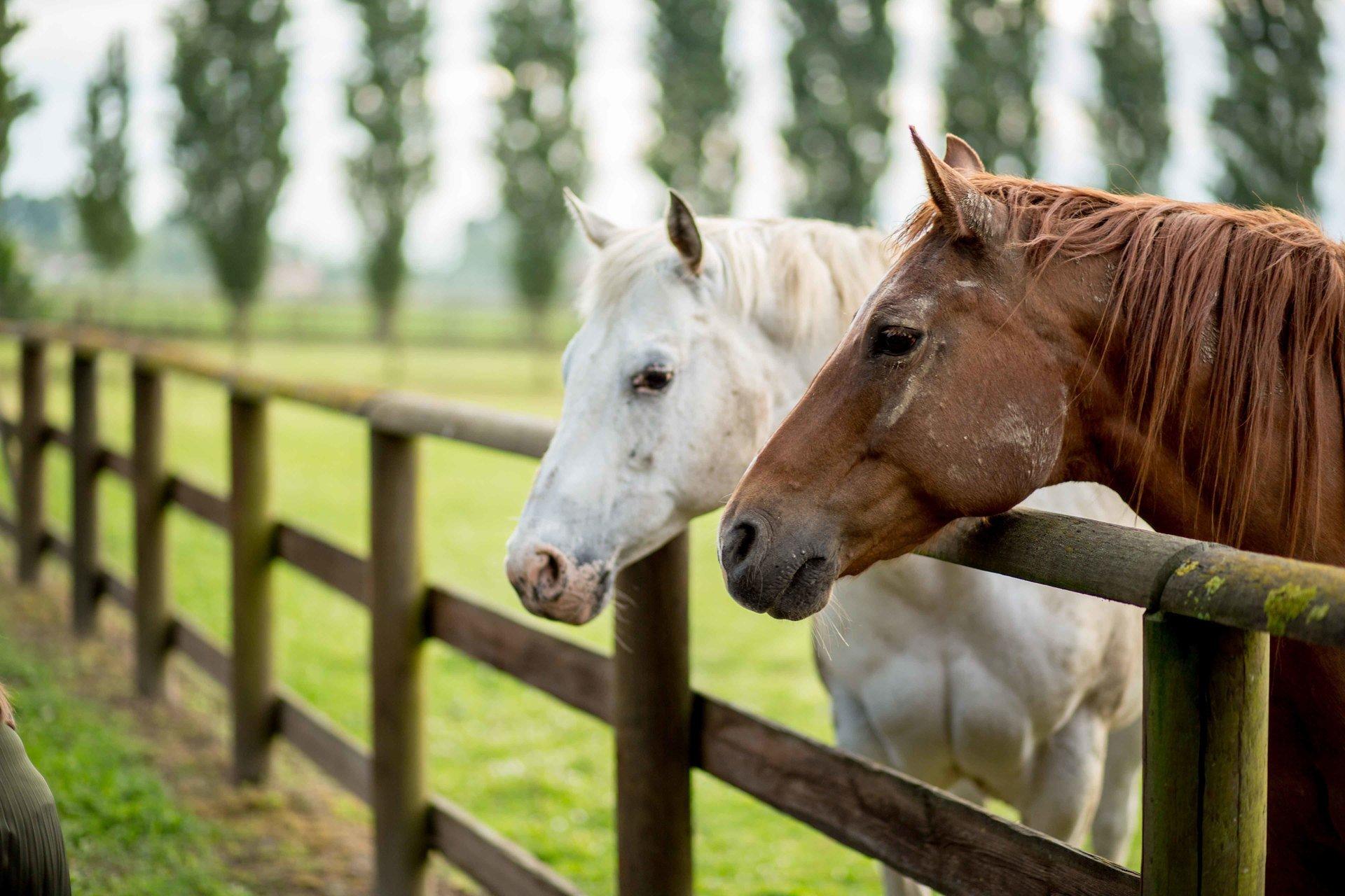 primo piano cavalli