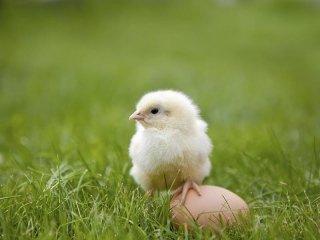 Mangini naturali per galline
