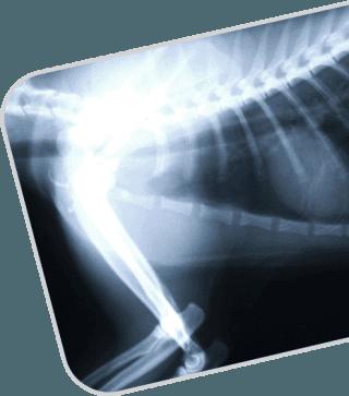radiologia animali