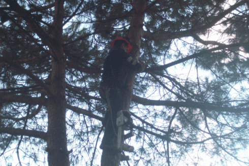 I giardinieri sono specializzati nella potatura tree climbing di alberi.