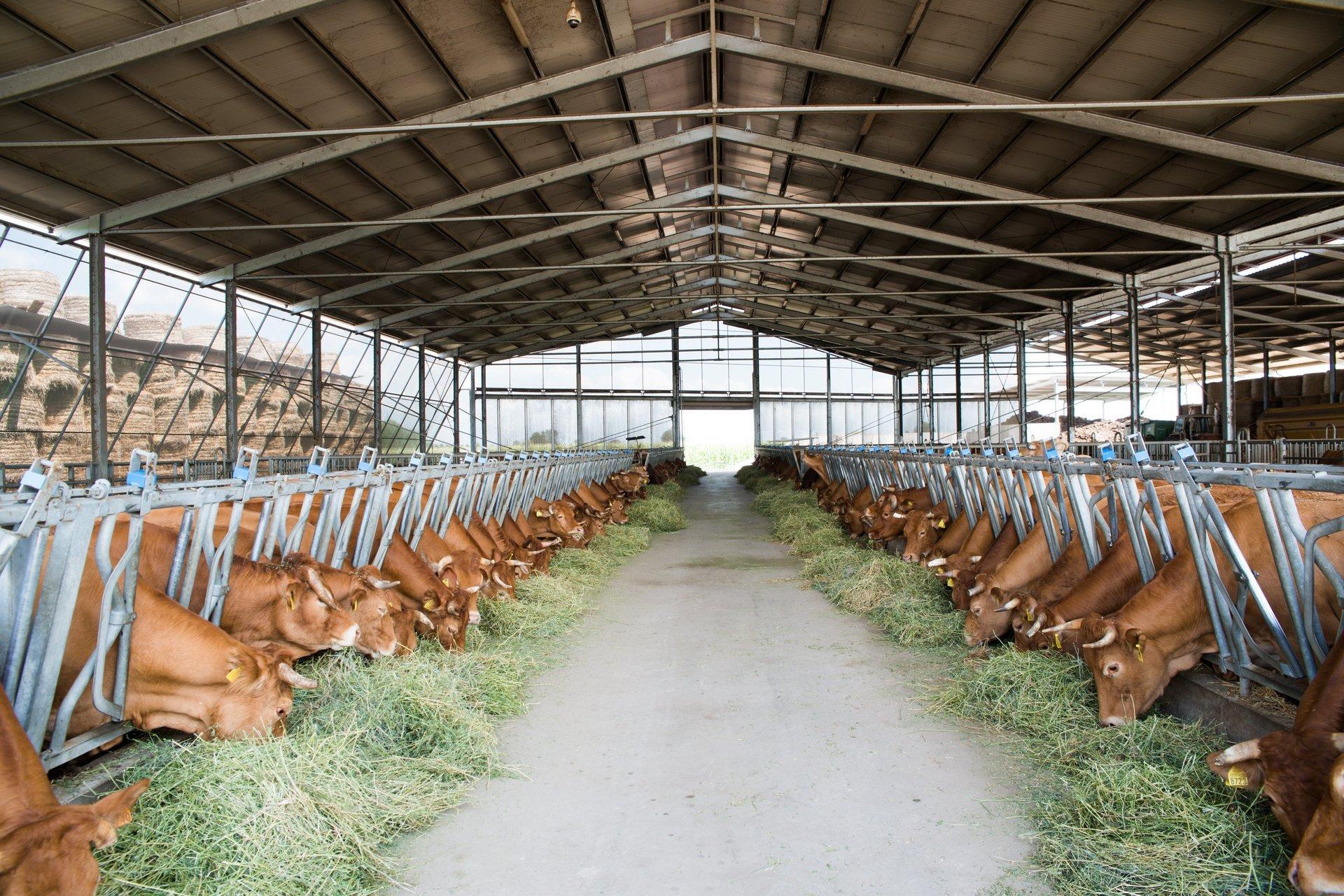mucche in una stalla mentre mangiano fieno