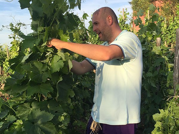 un uomo sta raccogliendo dell'uva dalle foglie di un vigneto