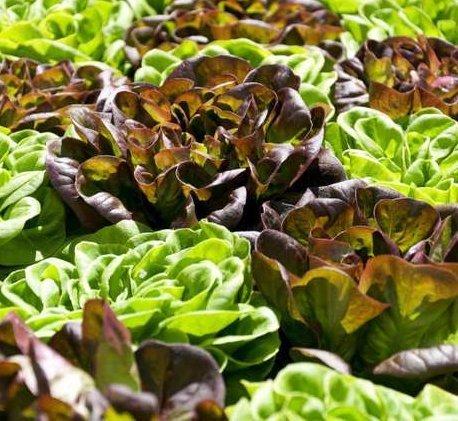 City Farm Systems lettuces