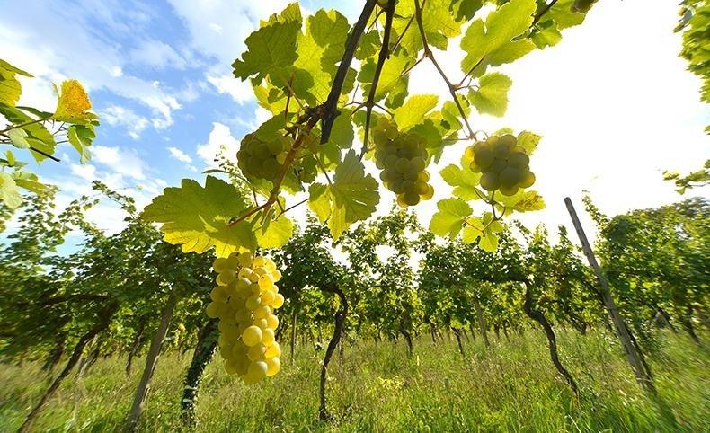 Produzione Vino Lago di garda