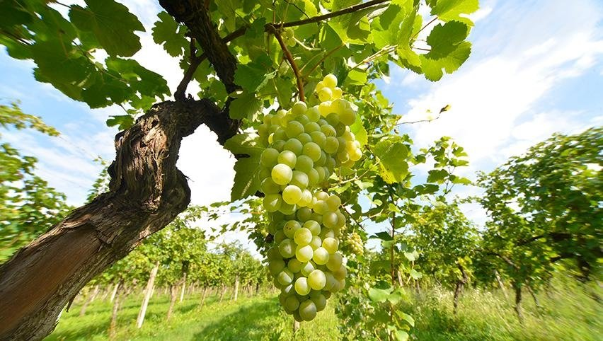 vino Torcolato