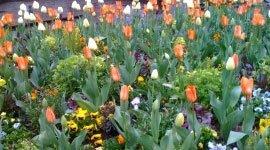 Pianti di tulipani arancioni, bianche e violette