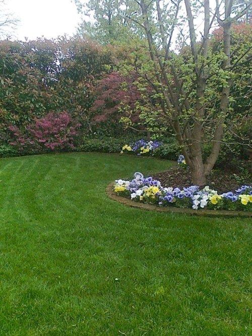 Vista di un albero con violette intorno , un prato verde e siepia intorno