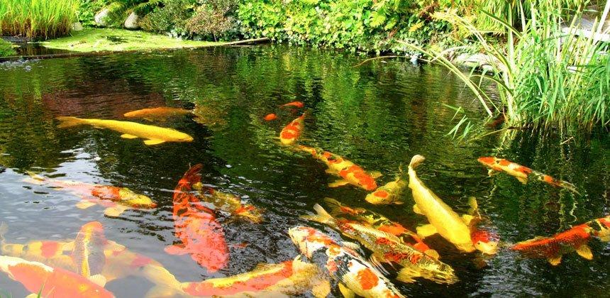 Koi Pond Rochester, NH