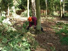 A tree being felled