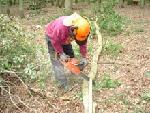 A felled tree being cut for logs