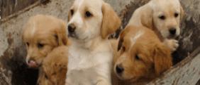 pastori tedeschi e di rottweiler