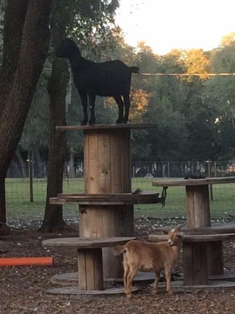 Farm Animal Sitting Gainesville, FL