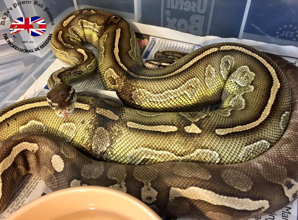 D & Jo's Pythons - snake breeders in West Yorkshire