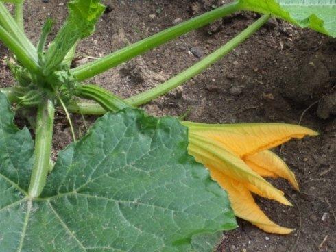 particolare zucchina