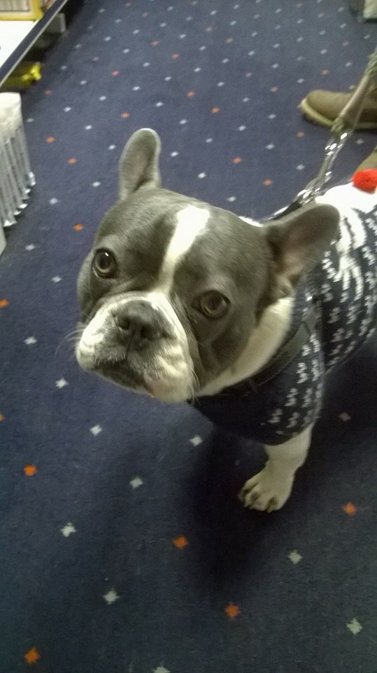 french bull dog wearing a coat