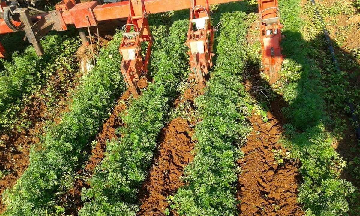Primo piano di colture in un campo