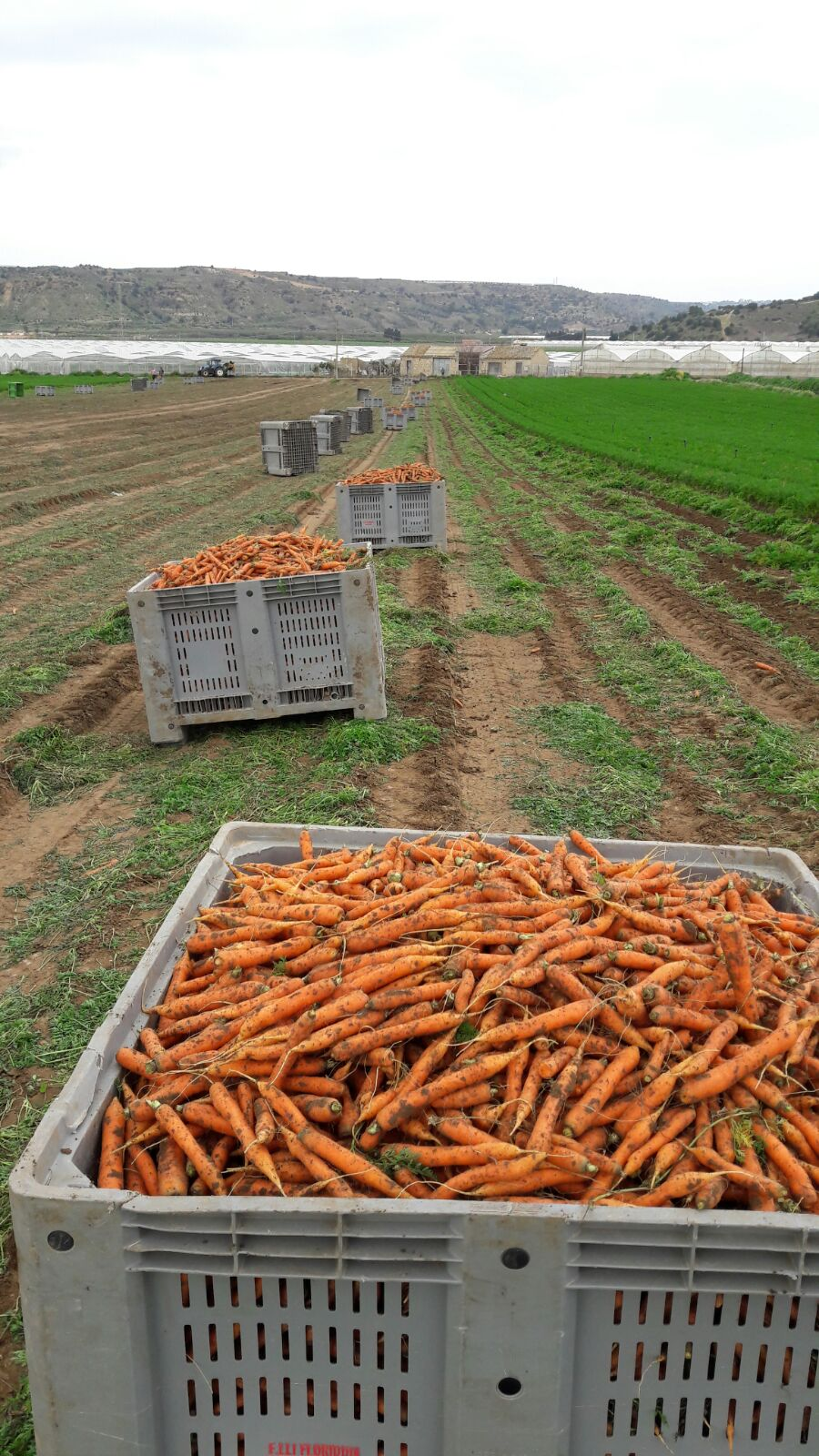 Containers di carote appena raccolte in un campo