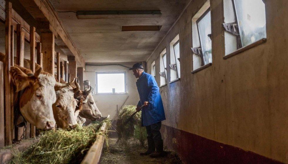un uomo con un forcone e delle mucche che mangiano