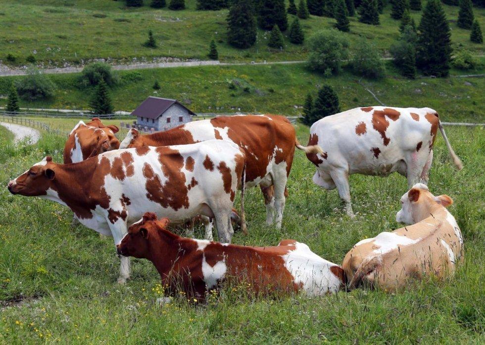 delle mucche in un prato