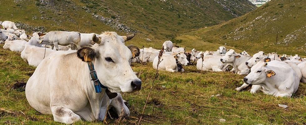 allevamento bovini piemontesi