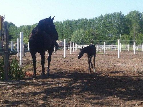 un cavallo nero e un puledro