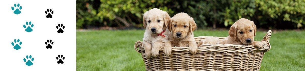 caseys beach veterinary clinic golden retriever puppies